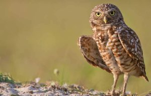 Burrowing-Owl-hww
