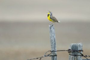 harwood-meadowlark-web