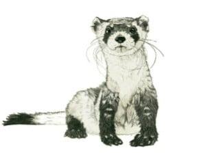 Ferret-web