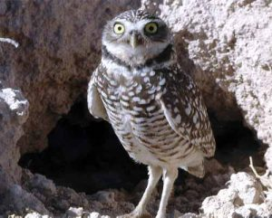 Burrowing_Owl_CPAWS_bob-lincoln
